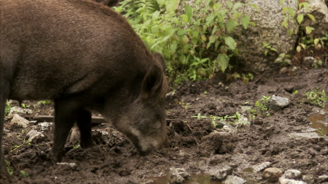 a wild boar sweden. - boar stock videos & royalty-free footage