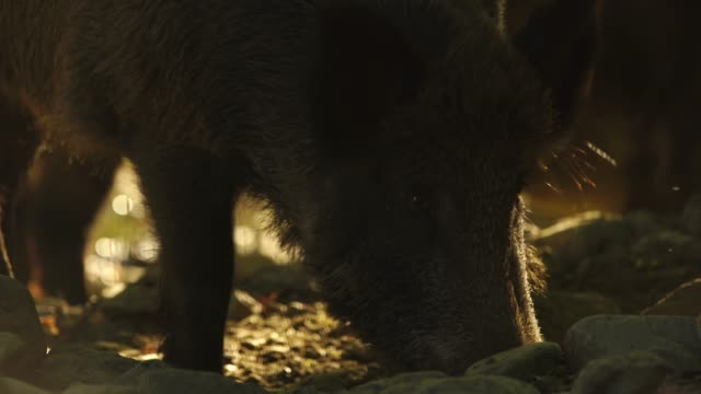 wild boar (sus scrofa) - animals in the wild stock videos & royalty-free footage