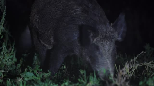 wild boar (sus scrofa) - boar stock videos & royalty-free footage