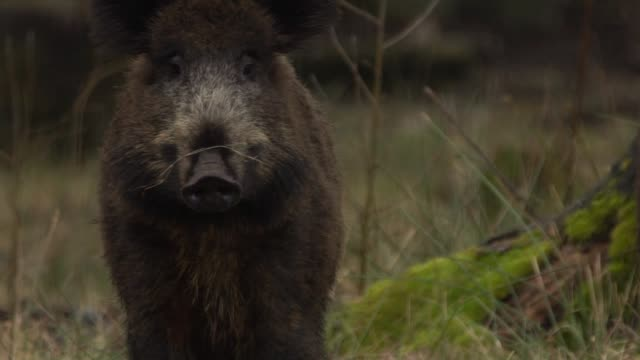 wild boar - animals in the wild stock videos & royalty-free footage