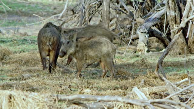wild boar - film montage stock-videos und b-roll-filmmaterial