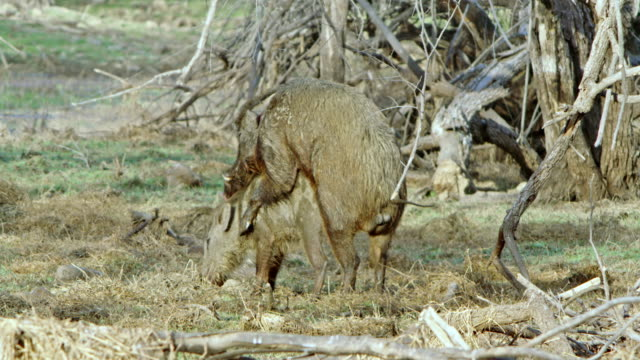 wild boar - mating stock videos & royalty-free footage