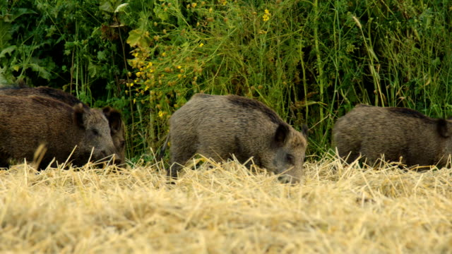vídeos y material grabado en eventos de stock de wild boar (sus scrofa) - cuatro animales
