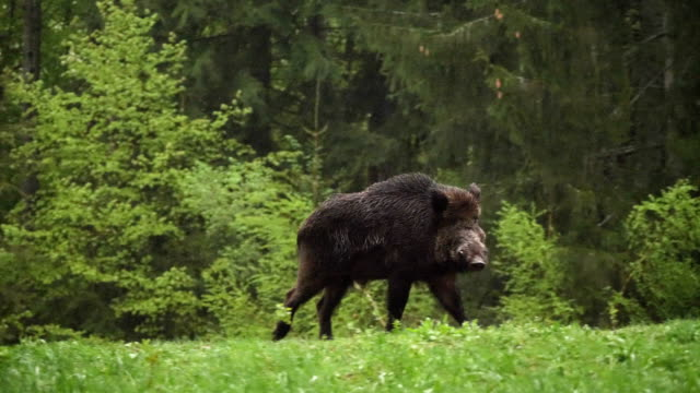 wild boar walking in the forest and looking at camera / romania - wildtier stock-videos und b-roll-filmmaterial