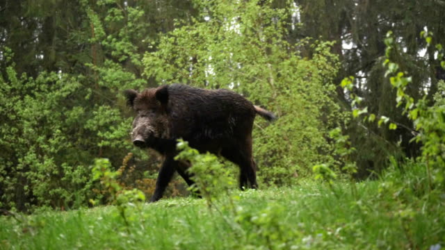 wild boar walking in the forest and looking at camera / romania - romania stock videos & royalty-free footage