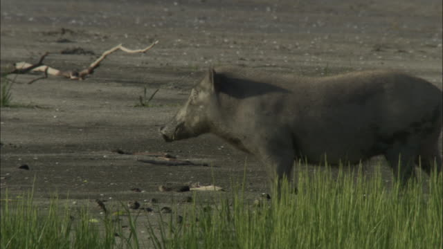 A wild boar walks along a grassy muddy bank in the Sundarbans. Available in HD.