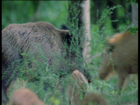 wild boar walks around woodland then feeds next to piglets - apparato digerente animale video stock e b–roll
