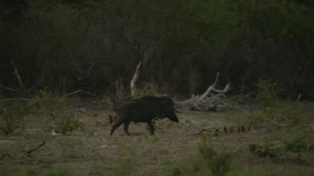 wild boar walks away, sri lanka. - animals in the wild stock videos & royalty-free footage