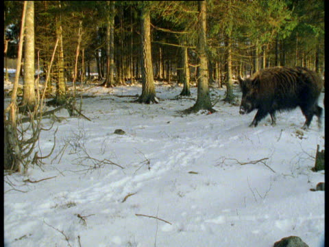 Wild boar wanders through snowy forest, Sweden