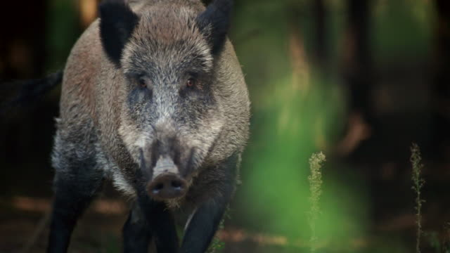 wild boar with close-ups - animals in the wild stock videos & royalty-free footage