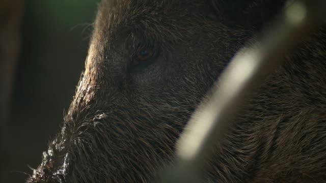 wild boar with close-ups - boar stock videos & royalty-free footage