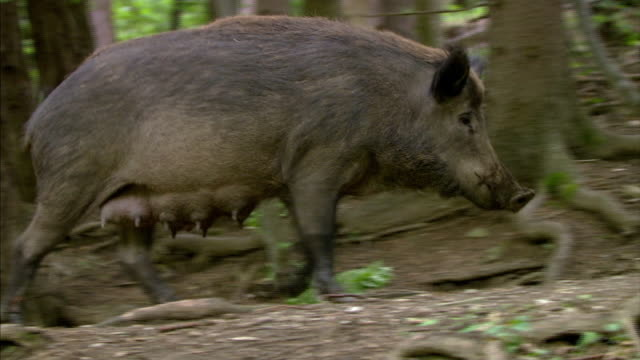 wild boar with piglets - boar stock videos & royalty-free footage