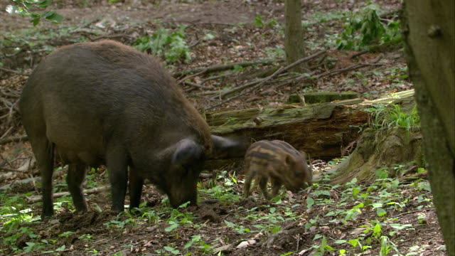 Wild Boar with Piglets
