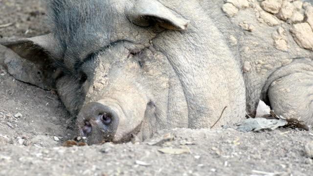 Wild boar yawns