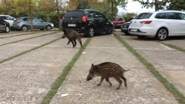 vídeos y material grabado en eventos de stock de wild boards searching for human food in the collserola mountain parking this overpopulated animals has become a problem for barcelona city because... - animales salvajes