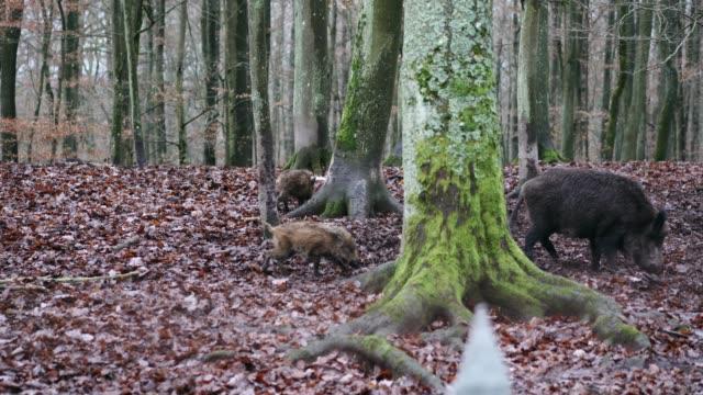 stockvideo's en b-roll-footage met wilde zwijnen in bos in duitsland - keus