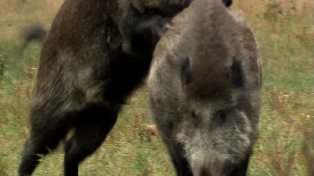 wild boars sex - boar stock videos & royalty-free footage