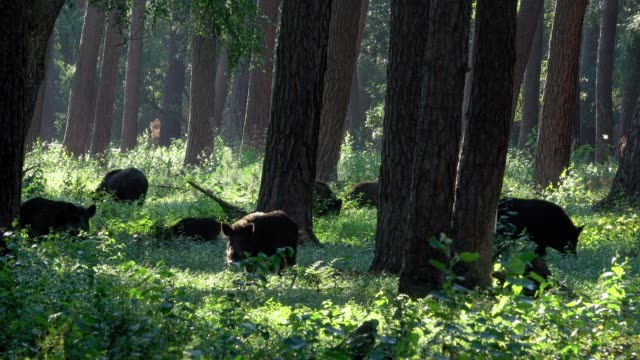 wild boars, sus scrofa, group in forest - boar stock videos & royalty-free footage