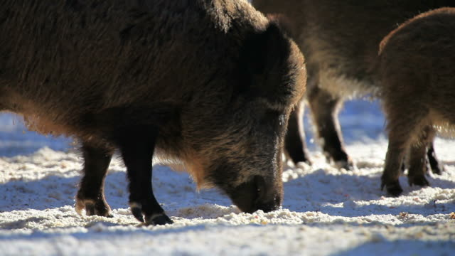 hd: wild boars - central europe stock videos and b-roll footage