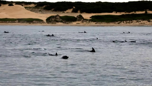 wild bottlenose dolphins in algoa bay, port elizabeth, south africa - bottle nosed dolphin stock videos and b-roll footage