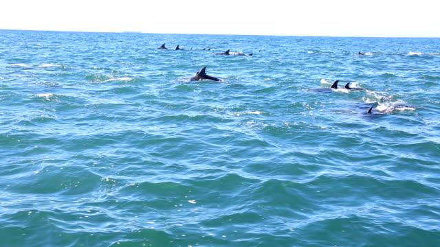 アルゴア湾ポートエリザベス、南アフリカ共和国で野生バンドウイルカ