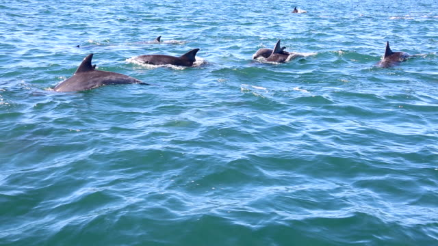 wild bottlenose dolphins in algoa bay, port elizabeth, south africa - tursiope video stock e b–roll