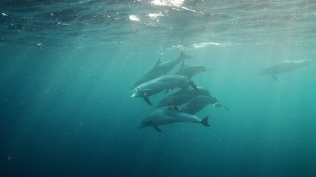 wild bottlenose dolphins in slow motion - bottle nosed dolphin stock videos & royalty-free footage