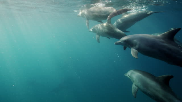 wild bottlenose dolphins - bottle nosed dolphin stock videos & royalty-free footage