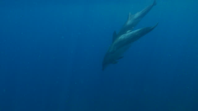 wild bottle-nosed dolphin diving into deep sea - bottle nosed dolphin stock videos & royalty-free footage