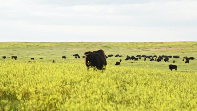 wild buffalo in south dakota - badlands national park video stock e b–roll