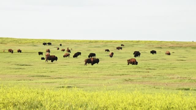 wild buffalo in south dakota - south dakota stock videos & royalty-free footage