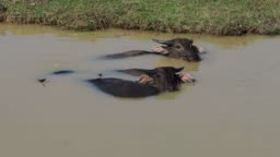 Wild buffaloes in the waters of the Mekong river near Siem Reap, Cambodia, Asia