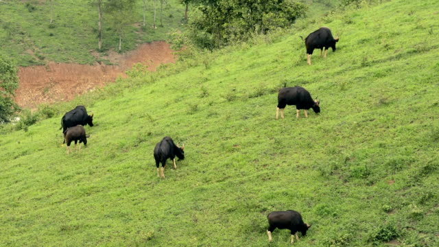 Wild Bull grazing