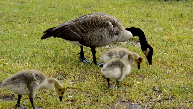 Wild Canadian Goose or Branta Canadensis with Gooslings in Spring