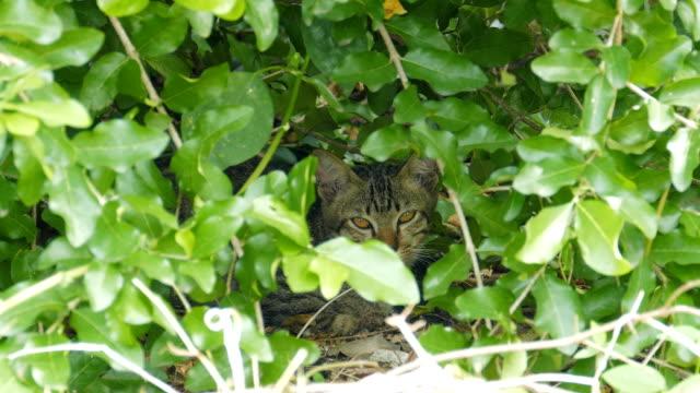 vídeos y material grabado en eventos de stock de gato salvaje en arbusto en el bosque tropical. - área silvestre