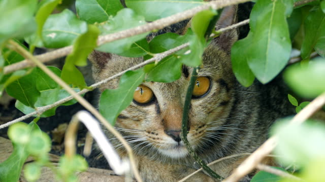 wild cat in bush at tropical forest. - lush stock videos & royalty-free footage