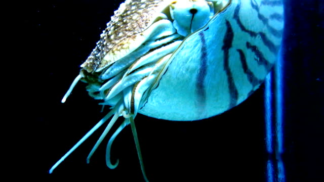 wild chambered nautilus - cuttlefish stock videos and b-roll footage
