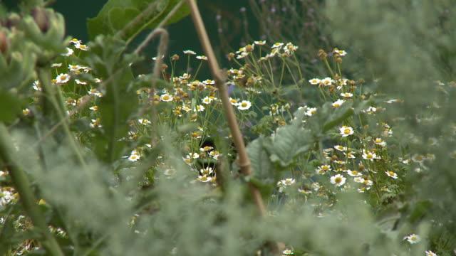 vídeos de stock e filmes b-roll de wild chamomile flowers - estame