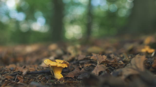 wild chanterelle mushrooms in sunny forest - chanterelle stock videos & royalty-free footage