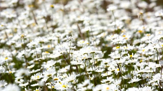 wild chrysanthemum - chrysanthemum stock videos & royalty-free footage