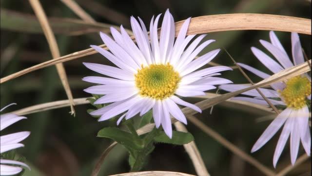 vídeos y material grabado en eventos de stock de wild chrysanthemums blooms on cape komo. - crisantemo