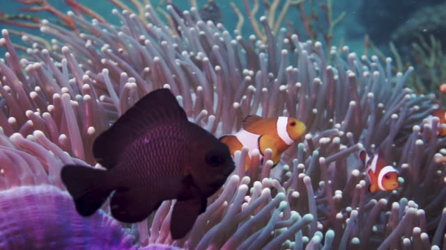wild clown fish and damselfish in sea anemone coral reef phi phi islands - symbiotic relationship stock videos & royalty-free footage