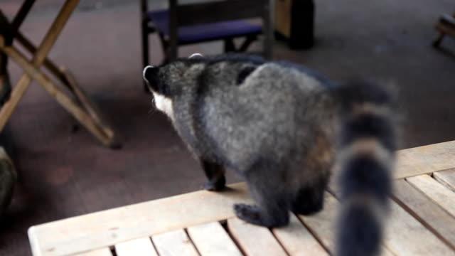 Wild coati life