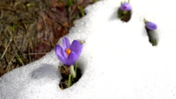 Wild corcus flower in the snow, spring season