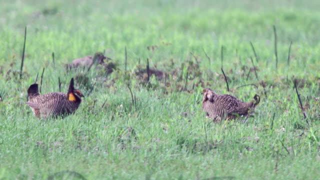 wild critically endangered pair attwater prairie chicken national wildlife refuge - contestant stock videos & royalty-free footage