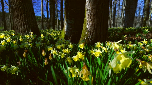wild daffodil or lent lilly (narcissus pseudonarcisus), gorbeia natural park, alava, basque country, spain, europe - daffodil stock videos & royalty-free footage
