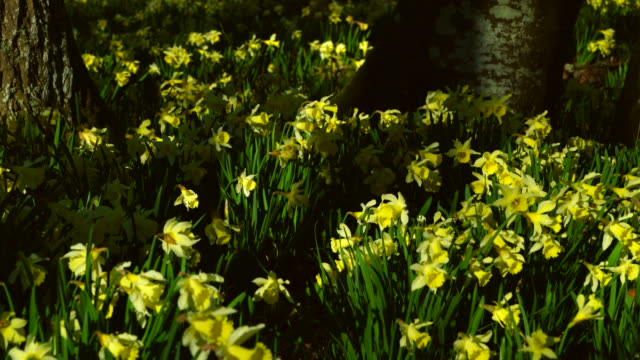 Wild daffodil or Lent Lilly (Narcissus pseudonarcisus), Gorbeia Natural Park, Alava, Basque Country, Spain, Europe