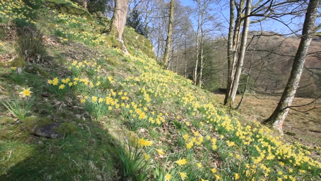 wild daffodils (narcissus pseudonarcissus) at loughrigg tarn in the lake district in spring, uk. - wildflower stock videos & royalty-free footage