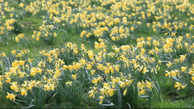 wild daffodils flowering in rosedale in the north york moors, yorkshire, uk. - daffodil stock videos & royalty-free footage