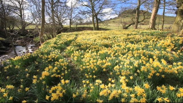 wild daffodils flowering in rosedale in the north york moors, yorkshire, uk. - wildflower stock videos & royalty-free footage